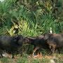 tägliche besucher, eine büffelfamilie auf der suche nach futter