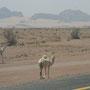 eines der vielen kamele am strassenrand