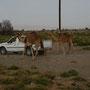 einheimischer geht mit seinen kamelen gassi