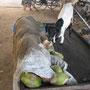 ziege frisst den kokosnussstand leer