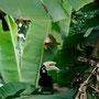 einer der vielen grossen hornbill vögel auf pankor island