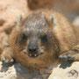 riesen-meerschweinchen mit lustiger zahnstellung
