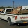 kameltransport auf omanisch