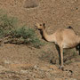 und natürlich kamele
