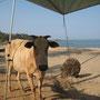 kein seltener campbesucher am strand von agonda
