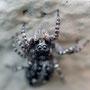Паук-скакун (Salticidae), ок. 5 мм в длину.