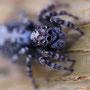 Паук-скакун (Salticidae), ок. 5-6 мм в длину.