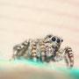 Паук-скакун (Salticidae), ок.  4 мм в длину.