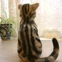 No.092 猫(アメリカンショートヘア)