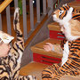 die Tiger ruhen sich aus