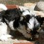 Bimyou 10 Wochen alt, 850 g
