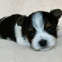 Byakko 3 Wochen alt, 431g