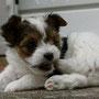 Beniko 6 Wochen alt, 484 g
