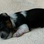 Bimyou 14 Tage alt, hat seine erste Wurmkur bekommen. Gewicht 215 g