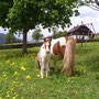 Mini Pony für die Kinder