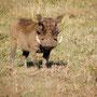 warthog Serengeti 2008