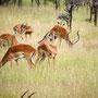 Thompson gazelles Serengeti 2008