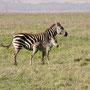Zebramutter mit ihrem Jungen Serengeti 2008