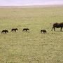 warthog with family Serengeti 2008