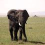 african elephant Serengeti 2008