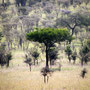 Serengeti Tanzania 2008