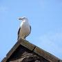 Great black backed gull Edingburgh Castle 2011