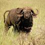 Buffallo Serengeti 2008