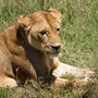 Lionlady Serengeti 2008