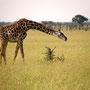 Masai Giraffe Serengeti 2008