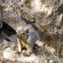 grey squirrel am Grand Canyon 2009