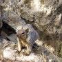 grey squirrel am Grand Canyon 2009