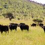Buffallo Family Serengeti 2008