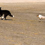 Foxi auf der Jagd