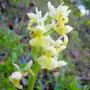 """dactylorhiza sambucina, """"Sureau"""""""