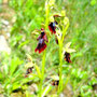 "ophrys muscifera, ""ophrys mouche"""