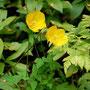 Gelber Mohn, eine Pflanze, die nur in den Pyrenäen und den Kantabrischen Bergen wächst
