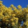mimosa - clima méditerranéen