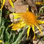 Veränderliche Krabbelspinne tötet Insekt - natürlich gelb auf gelb