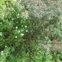 Die Bibernellrose blüht (ich nenne sie Schneeweißchen mit Nachbarin Rosenrot)