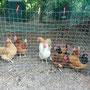 Die Hühner auf dem Spielplatz.
