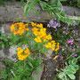 Die Orangenen sind ein Ackerunkraut und so grell, aber die wandern jetzt immer durch den Garten. Manchmal sind Insekten drauf.