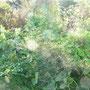 Das Hügelbeet mit Kürbisspflanzen und Zucchinis vergeht, der Dill sieht noch schön aus.