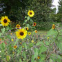 Sonnenblumen und ihre Besucher