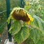 Eine Sonnenblume mit Migräne