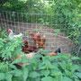 Die Hühner auf dem Spielplatz. (Hier: die Ecke mit dem Staubbad). Sehr beliebt!