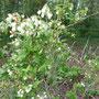 Hummel an Heidelbeere