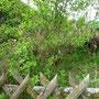 Hier an der Böschung ist ein Zwetschgenbaum entstanden. Der hat auch geblüht. Mal sehen, was wird.