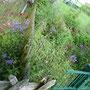 Die Akelei schlendert durch den Garten.