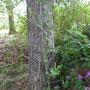Ramblerrose am Nadelbaum. Alternative am Hochzeitsbaum?