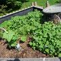 Im Hochbeet dominiert jetzt endlich der Spinat. Die Gurke wächst sich gut hin.